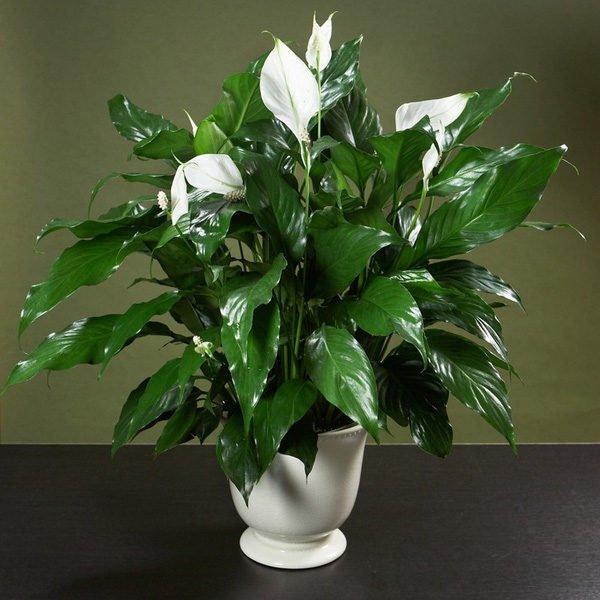 8 loại cây dễ trồng giúp thanh lọc không khí trong nhà